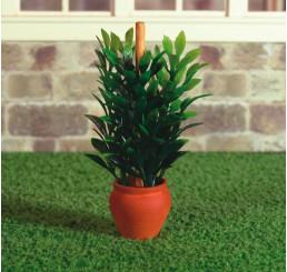 Rubberplant in pot